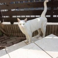 ノラの白猫さん・控えめにスリスリ