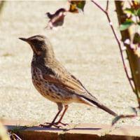 冬の野鳥達(小鷺、花鶏、鶫、青鵐、瑠璃鶲、鴲、白腹)