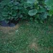 梅雨明け 収穫と草刈り