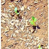 大根 & 小蕪 の 発芽