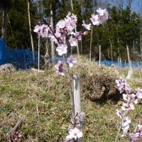 ピンチです!十八成に希望の花「アーモンド」を咲かせましょう~植樹ボランティア(11/11~13)にご参加を! アーモンドオーナーさんになってください!