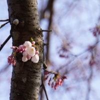 佐奈川の桜 開花・・・・・♪