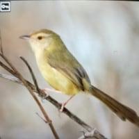 台湾野鳥撮影旅3日目