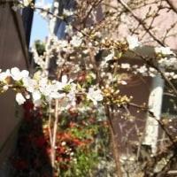 花~木蓮・シラー