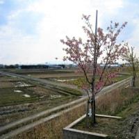 犀川沿いの早咲きの桜が開花。