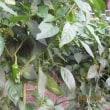 夏野菜の成長