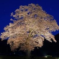 千鳥別尺の山桜 170423