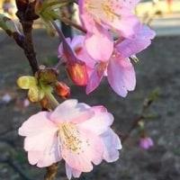 河津桜が咲いたよ