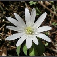 アズマイチゲは白い清楚な花ですね