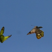 「蝶とポピー」 「蝶・・・飛んで飛んで・・・」