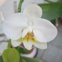 胡蝶蘭咲く