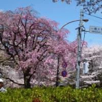 桜ついでに