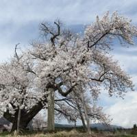 置賜さくら回廊・山口奨学桜~2013桜