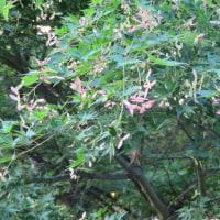 いろは紅葉、 県立三木山森林公園