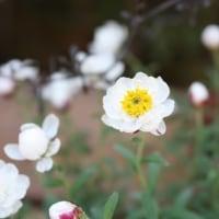 「おはようの花」 花かんざし 2月