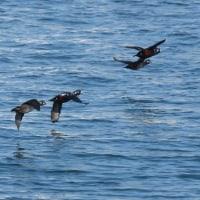 日本海側で海鳥観察 2017