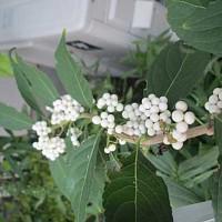 白式部(しろしきぶ)という花