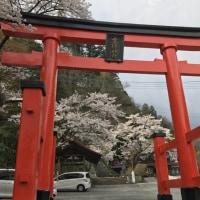 桜満開☆春の金櫻神社