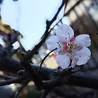 咲きだした