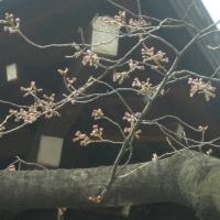 東京管区気象台が靖国神社境内のソメイヨシノ標準木で開花宣言