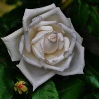 バラの香り