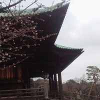 安行桜・・・ソメイヨシノより早く咲き赤みが強い桜
