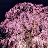 阿弥陀寺のしだれ桜 18690