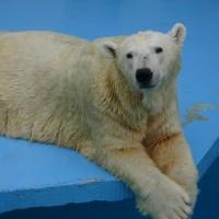 ユキちゃん逝く『さようなら~』=徳山動物園の北極熊=
