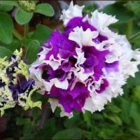 カエル目線で★八重咲きペチュニア