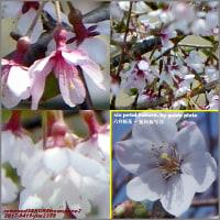 image2359 宇宙桜2