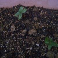 あさがお、芽が出ました。