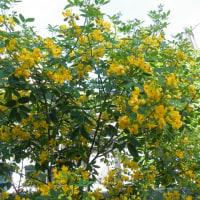 ギボウシの花と花センナ