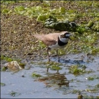 今日の野鳥、コチドリ ・ キアシシギ。