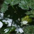 花巻のとある沼(ヒツジグサ等、7/25)