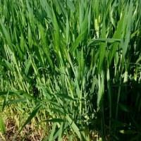 デュラム小麦の出穂が始まりました。