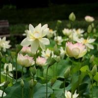 大賀蓮が咲き出しました・ひょうたん池