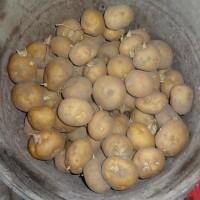 ジャガイモの種