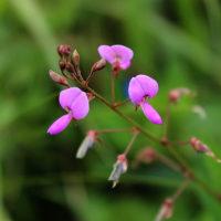 アレチヌスビトハギの花の知恵