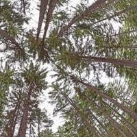 アカエゾマツの森 Sakhalin spruce forest