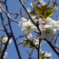 早咲大島ほぼ八部咲き