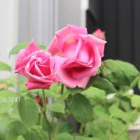 薔薇開花しました