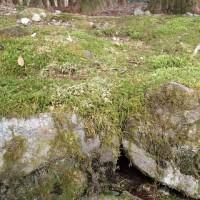 光前寺のコケ:恐らくこの石の間にヒカリゴケが見えるのでしょうが