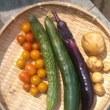 2017年7月16日の収穫