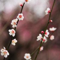 植物園の梅