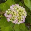 今年もアジサイが咲いてきました。見ごろは半月後かな~?