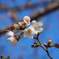 春の花散歩~桜