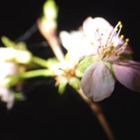 夜桜・四季桜 10.22
