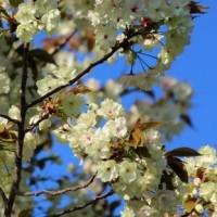 群馬県富岡市郊外の妙義山系中腹では、ヤエザクラ系のサクラの木が満開です