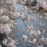 桜写真2017。