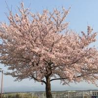 鈴鹿国際大学の桜 その2